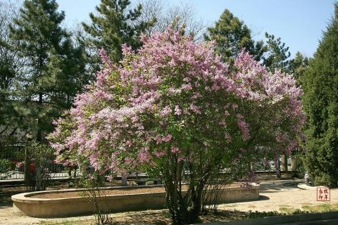 盛开的丁香树花