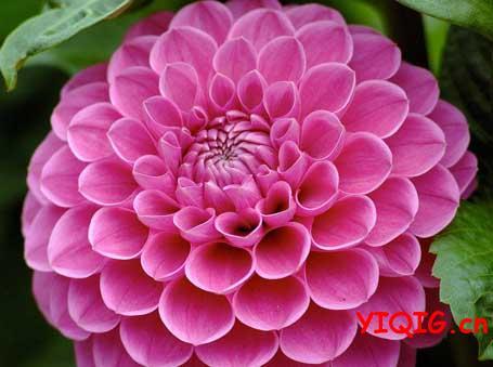 大丽花什么时候开花?花期多长