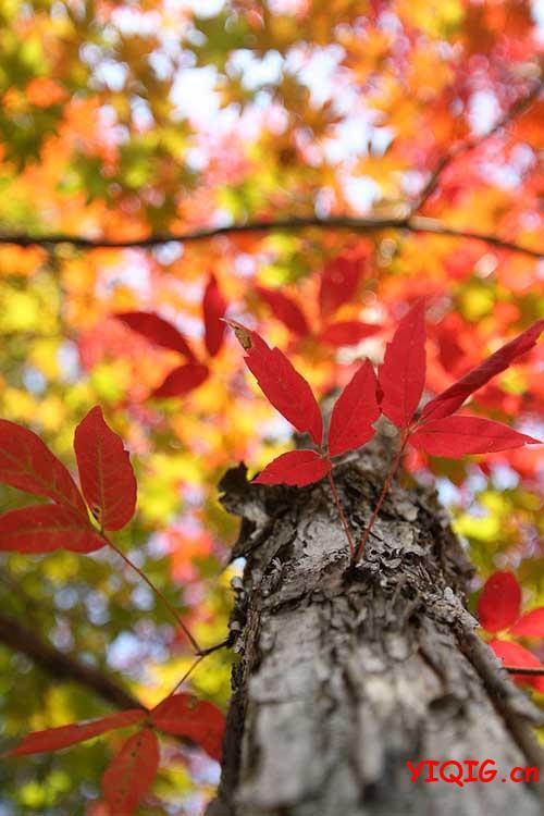 每一片枫叶上都有一丝秋意