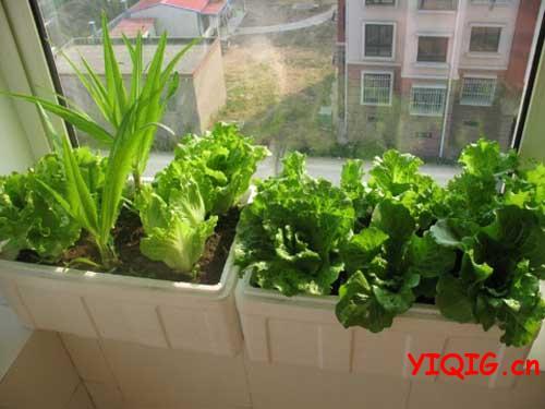 适合冬天在家里盆栽的蔬菜