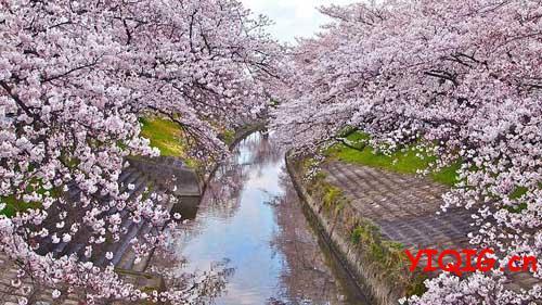 再没看过这么美的樱花