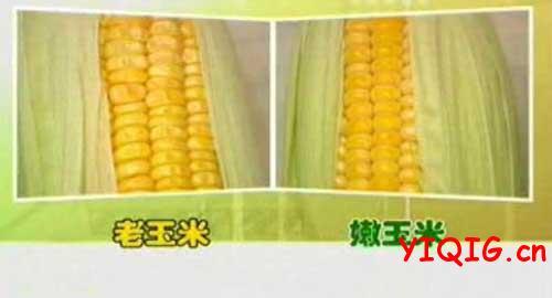 挑选嫩玉米的小方法