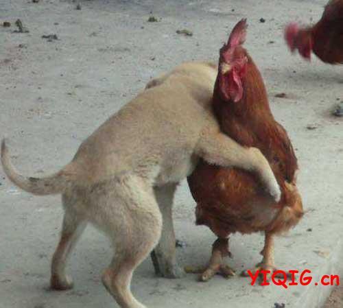 做鸡的笑话:你们人类太会玩了