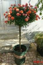棒棒糖树状月季用什么树嫁接比较好